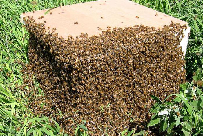 Как прекратить роение пчел противороевые методы в пчеловодстве фото