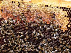 Нозематоз пчел — профилактика и лечение фото