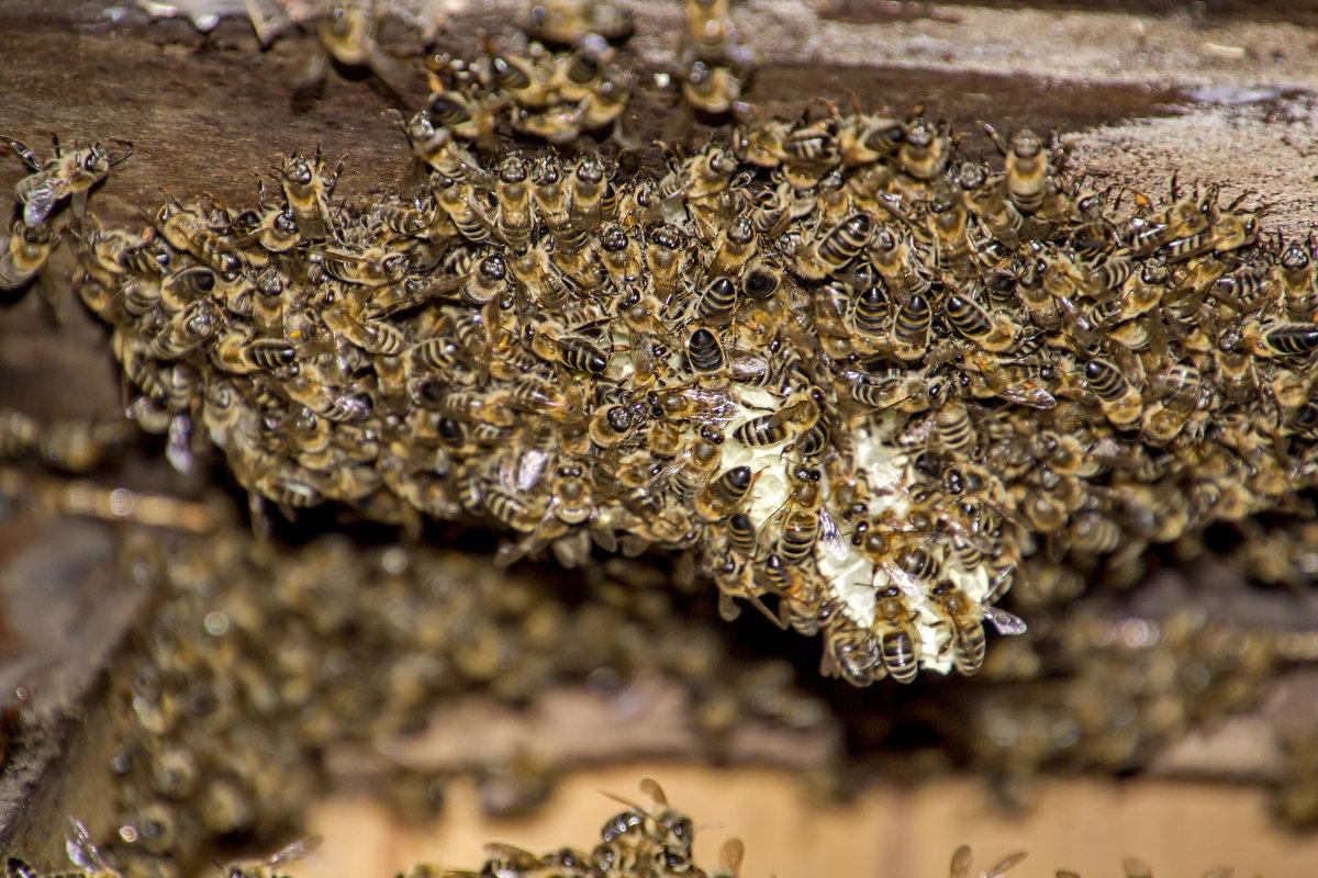Преимущества разведения породы диких пчел фото