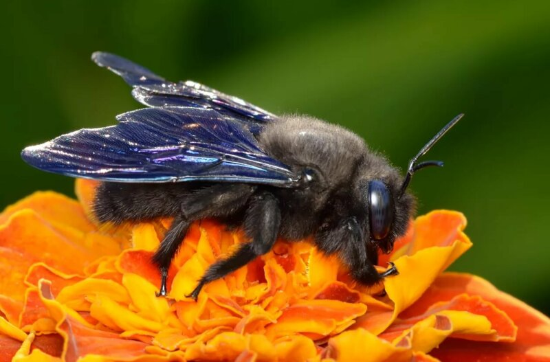 Пчела-плотник описание и виды черных пчел фото