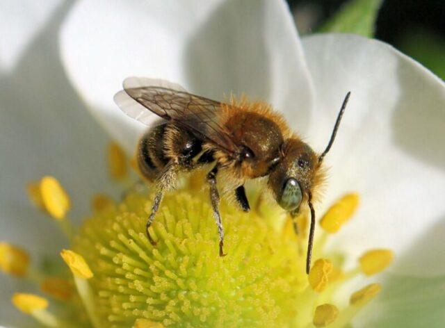 Пчелы осмии описание, разновидность, разведение и преимущества фото