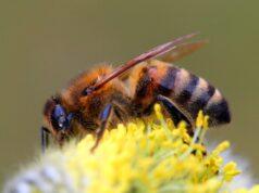 Кавказская пчела — характеристики и описание фото