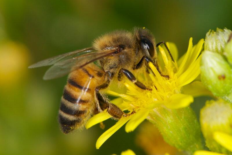 Как устроены пчелы сколько глаз, крыльев, желудков, ног фото