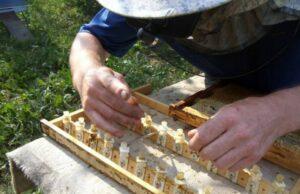 Вывод пчелиных маток — когда и как выводить матку фото