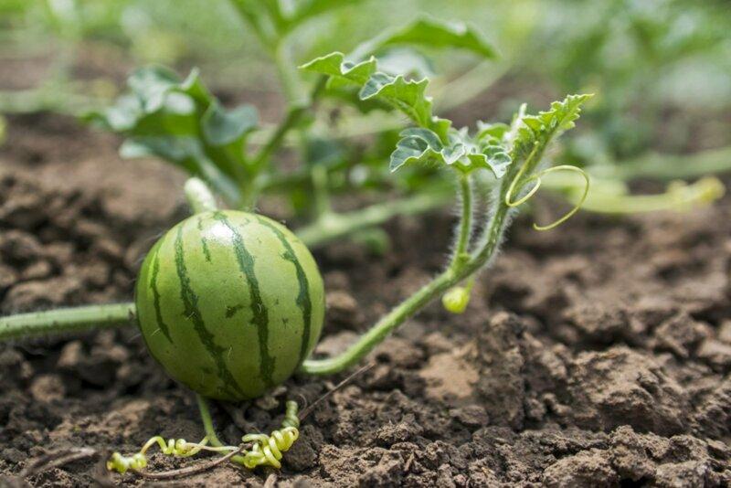 Как вырастить арбуз и получить урожай фото