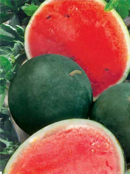 Как вырастить большие и вкусные арбузы фото