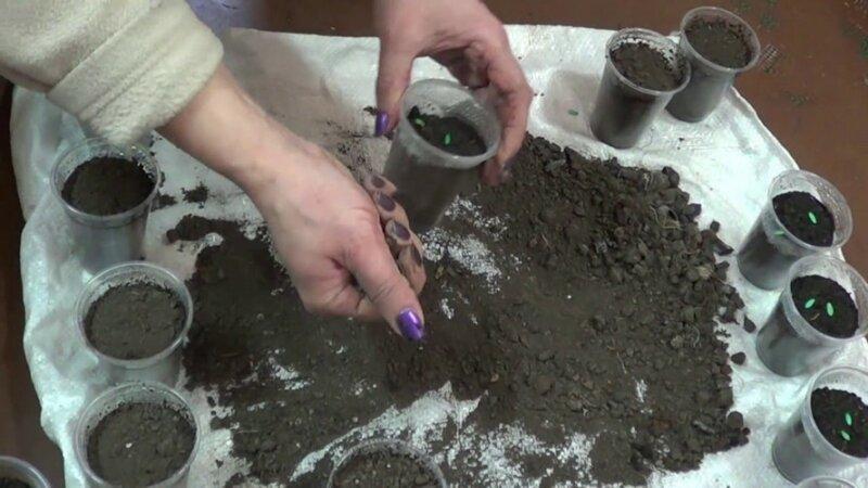 Как правильно сажать огурцы на рассаду фото