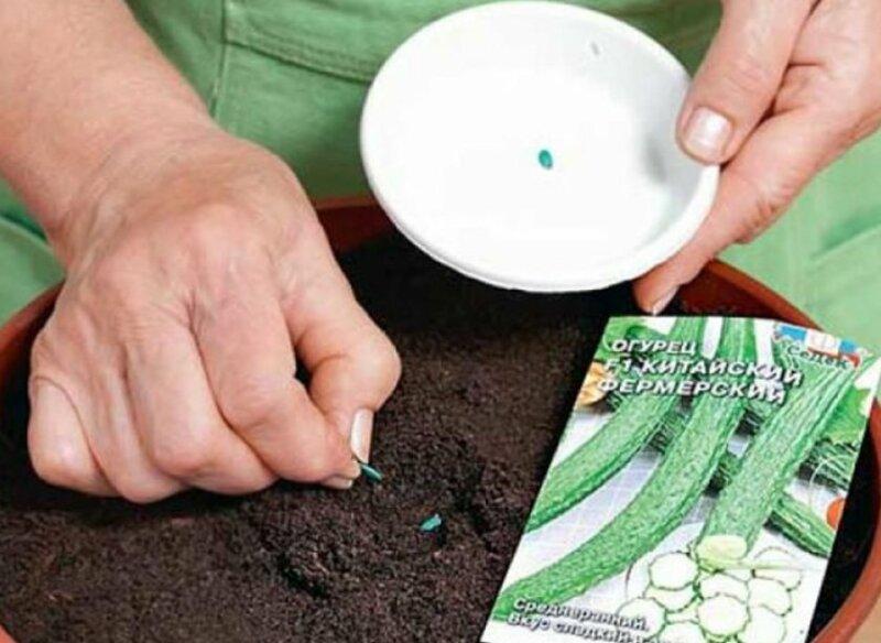 Как рассчитать срок посева огурцов, исходя из рассадного периода фото