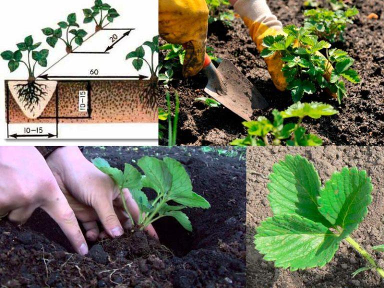 Как сажать клубнику весной пошаговая инструкция в домашних условиях фото
