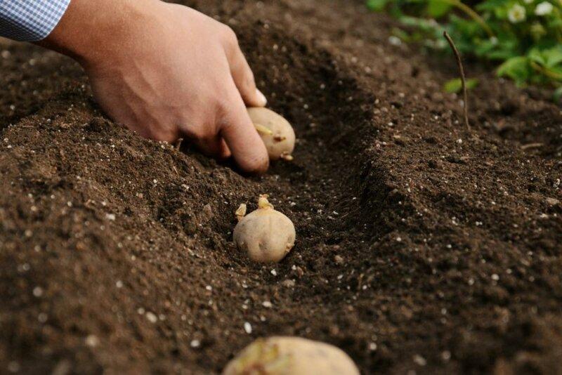 Когда можно сажать картофель в 2019 году фото