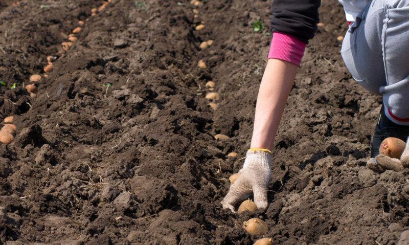 Когда сажать картошку в 2019 году Сроки посадки картофеля по Лунному календарю фото