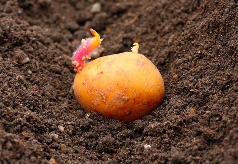 Секреты выращивания картошки фото