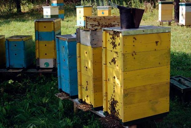 Содержание пчел в рогатом улье фото