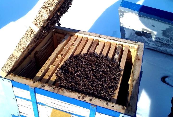 Лечение пчел весной после зимовкит фото